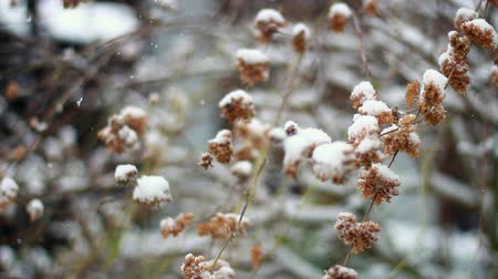 cheerless : Dried buds in the snow