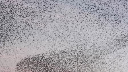 göç : Flock of starlings dance in the winter sky, forming abstract shapes Stok Video