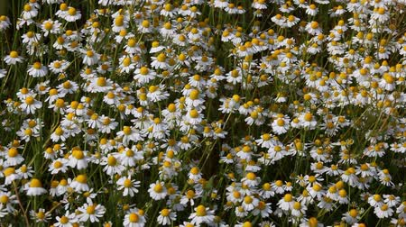 stokrotki : field with white chamomile daisies Wideo