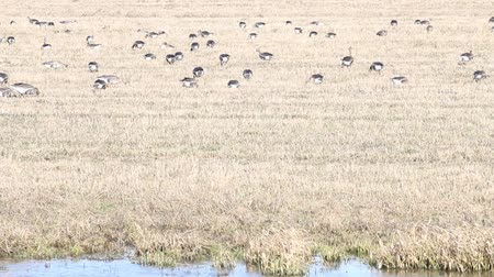 hordes : spring and migratory geese Stock Footage
