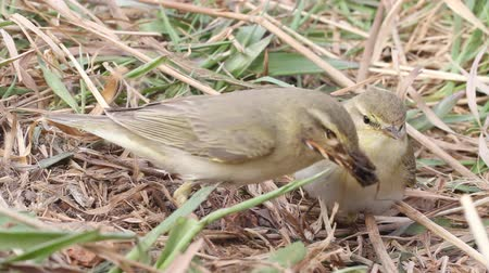 insectivorous birds : two willow warblers divide among themselves a catch