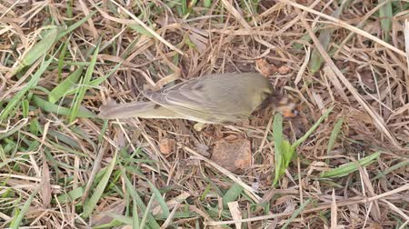 insectivorous birds : willow warbler eats the caught butterfly