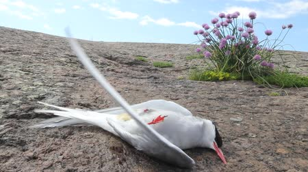 arctic bird : dead Arctic tern on a stone Stock Footage