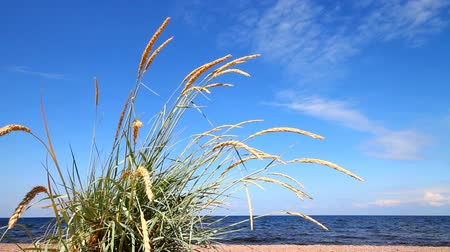 lyme : lyme grass  on the island in the Baltic Sea