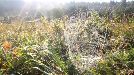 spider web : web and sunrise on a meadow in the summer Stock Footage