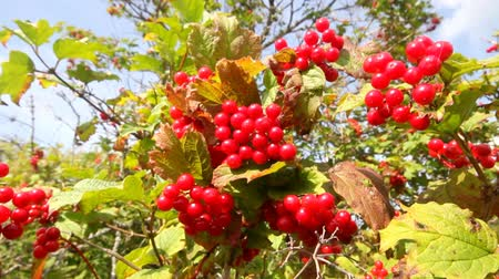 rowanberry : snowball tree red berries close up