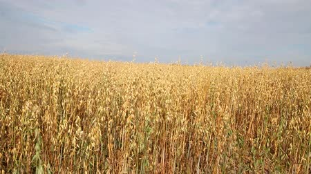 owies : oat crop on an agricultural field