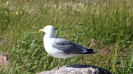 argentatus : seagull looks around sitting on a stone among reed waves
