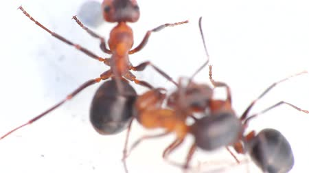 bitva : three insect of  ant  macro fight