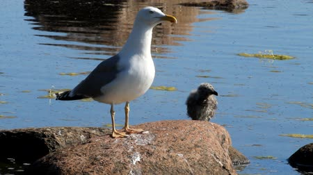argentatus : seagull with a baby bird on a stone in a colony of birds, with a voice Stock Footage