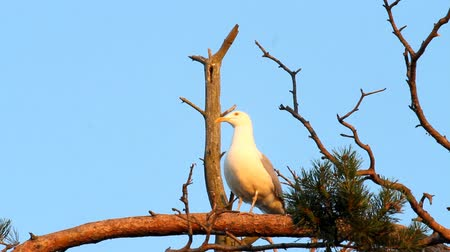 argentatus : seagull big white on a branch. colony of birds. voices of birds