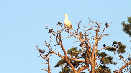argentatus :  flight of birds of starlings and a big seagull on a tree.