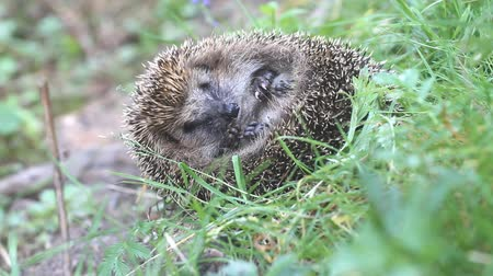 еж : hedgehog in  green grass curled up  ball and sleeps