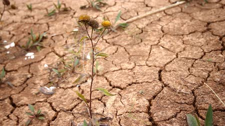 климат : climate change drying-up plant on cracked soil