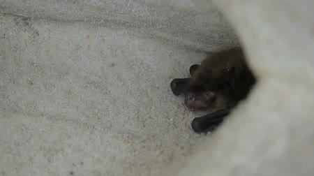 hibernation : Bat hides and grins