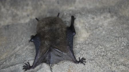 nietoperz : Bat closeup