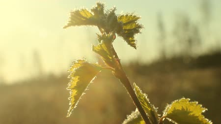 excuses : return spring cold weather: frost on green leaf