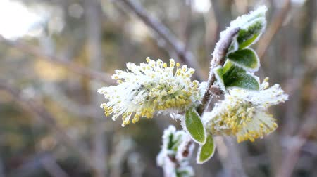 иней : return spring cold weather: frost on  flowers Стоковые видеозаписи