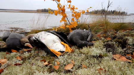 av : Trophies Northern hunting geese
