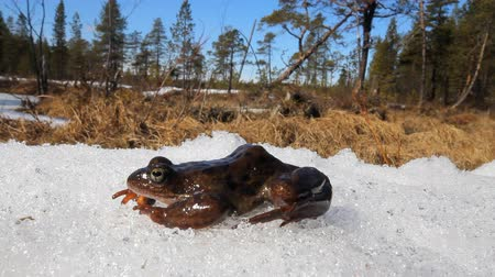 hibernation : Spring. The revival of frogs. Stock Footage