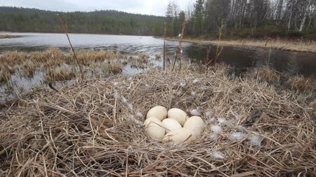 propagação : Breeding whooper Swan in the taiga river