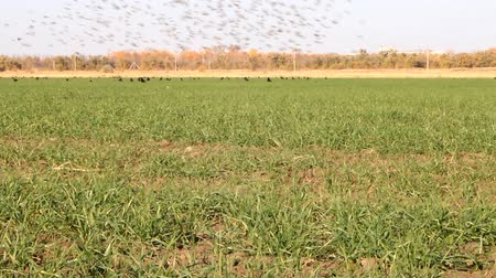 synanthropic animals : Flocks of birds in agricultural fields Stock Footage