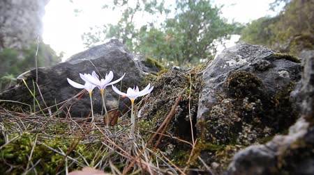 reticulatus : crocus  bloom in the mountains of Central Brand in autumn