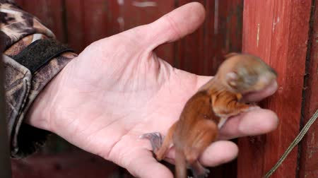 белка : Little squirrel at the age of two weeks