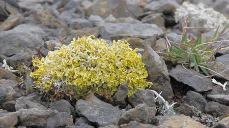 polar circle : bright poisonous lichen in polar desert. Novaya Zemlya archipelago .