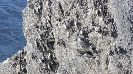 mutual assistance : Brunnichs guillemots with bird stain was stuck on steep rock to Barents sea. Arctic 2