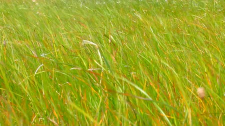 affirming : Leaves of grass. Life-affirming motive - green grass swaying in wind
