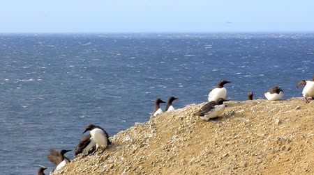 polar circle : Thick-billed murres are hiding from the strong winds on the rock. Coast of the Novaya Zemlya archipelago. Arctic