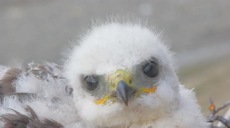 аккуратный : video portrait Rough-legged Buzzard chick, close-up shot. Novaya Zemlya Archipelago