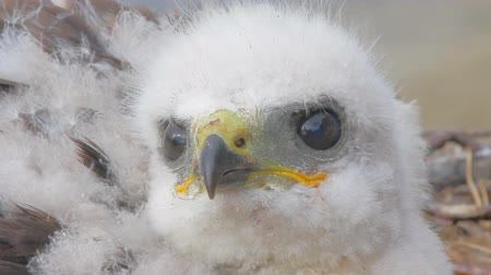 аккуратный : video portrait Rough-legged Buzzard chick, close-up shot. Novaya Zemlya Archipelago. Sound of river Стоковые видеозаписи