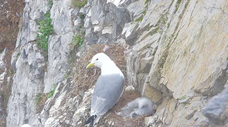 heir : Kittiwake with fluffy chick in nest on narrow ledge of cliff of the Novaya Zemlya archipelago in the Barents sea. Voices of gulls