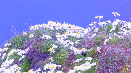 potash : Large daisies on guano of seabirds of Novaya Zemlya archipelago. Flight and cries of birds  background of blue sea