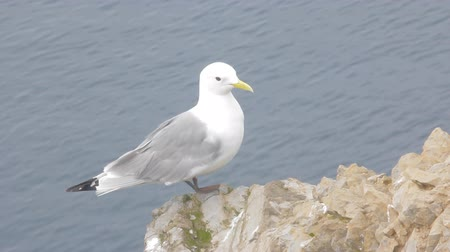 kittiwake : Kittiwake sits on ledge of rock above Barents sea, then flies down. Voices of gulls