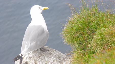 inhabitants arctic : Kittiwake sitting on the ledge of a cliff near the greens. Voices of Kittiwakes. Closeup