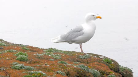 bird list : Glaucous gull Larus hyperboreus sitting on precipice of Novaya Zemlya archipelago in Barents sea and yells. Close-up shot