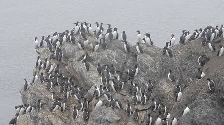 rookery : planar colony of brunnichs guillemots and common guillemots on the Novaya Zemlya archipelago, Barents sea Stock Footage