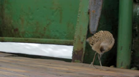 waders : Migrating Ruff Philomachus pugnax sat on deck of ship. It eats earthworm, who threw fishermen