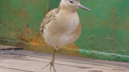 philomachus pugnax : Migrating Ruff Philomachus pugnax sat on deck of ship. It eats earthworm, who threw fishermen