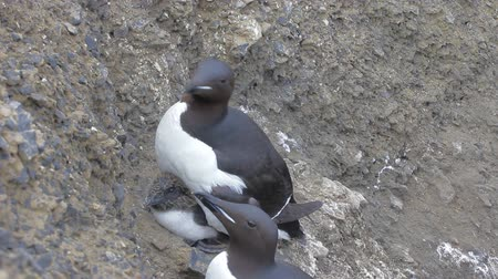 mutual assistance : Brunnichs guillemots Uria lomvia with chicks under belly, on ledges of cliff to Barents sea Stock Footage