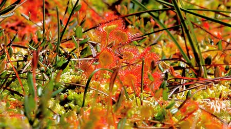 kalleş : Sundew glistens in sun leaves with hairs and droplets of sticky substance. Cries of black-headed gulls Stok Video