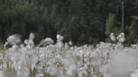 bavlna : Blooming cotton grass forest backdrop. Plants sway, heard noise of wind Dostupné videozáznamy