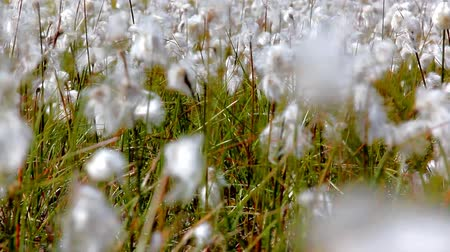 bavlna : Blooming cotton grass Eriophorum sways in wind. Flowers cover entire frame