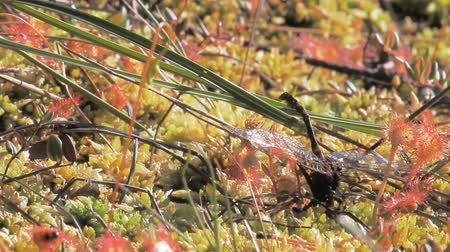 ouvido : Sundew Drosera and red forest ants Formica rufa devouring dragonfly Aeshna together. Symbiosis. Heard birds Vídeos