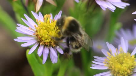 sedum : bumblebees on flowers fly for nectar Stock Footage