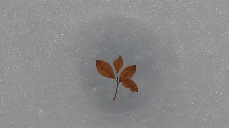 sapma : Autumn leaf melted in spring through thickness of ice.