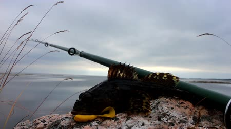 polar circle : fishing sculpin the sea in summer